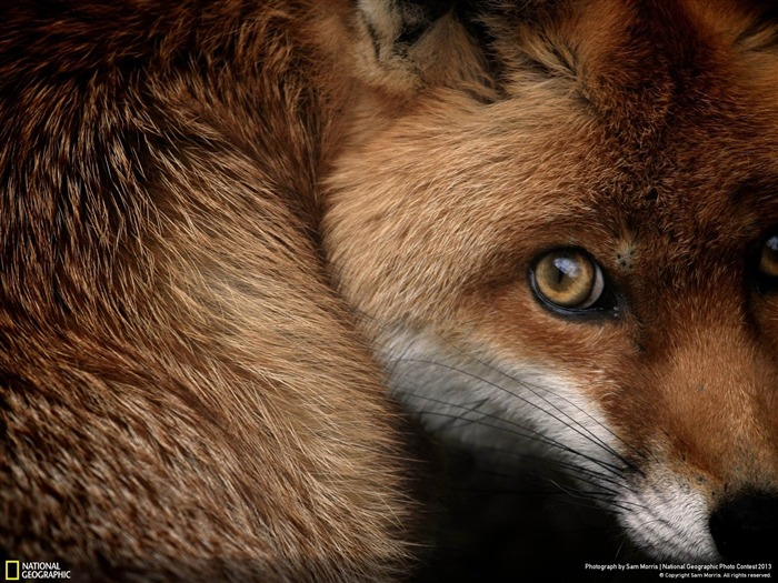 Fox Glance-National Geographic Wallpaper Views:3638
