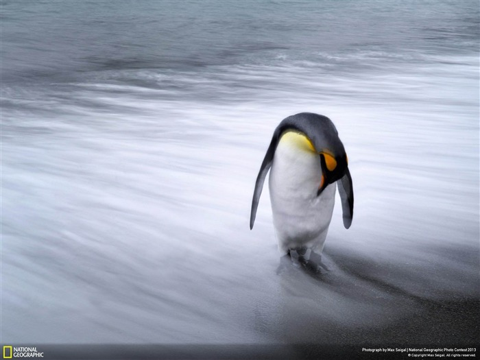 Lone Penguin-National Geographic Wallpaper Views:3366