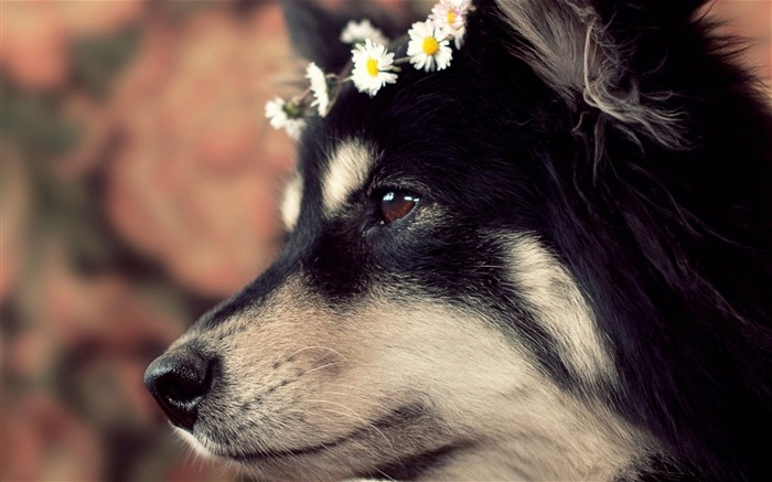 dog muzzle spotted wreath-Animal photo Wallpaper Views:3164