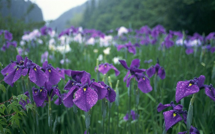 irises flowers grass drops-Photos HD Wallpaper Views:4513