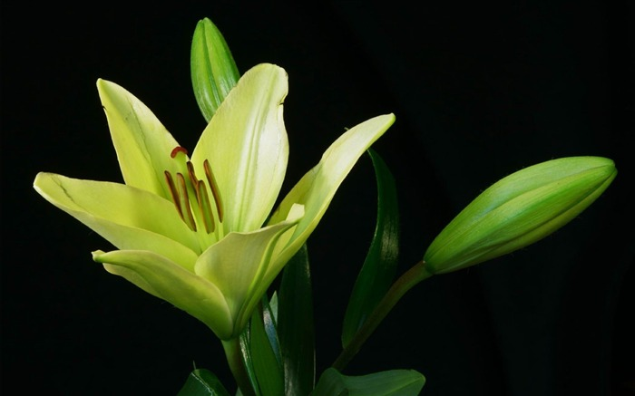 lily plant flower bud-Photos HD Wallpaper Views:3368