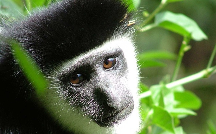 monkey face kid-Animal photo Wallpapers Views:3014