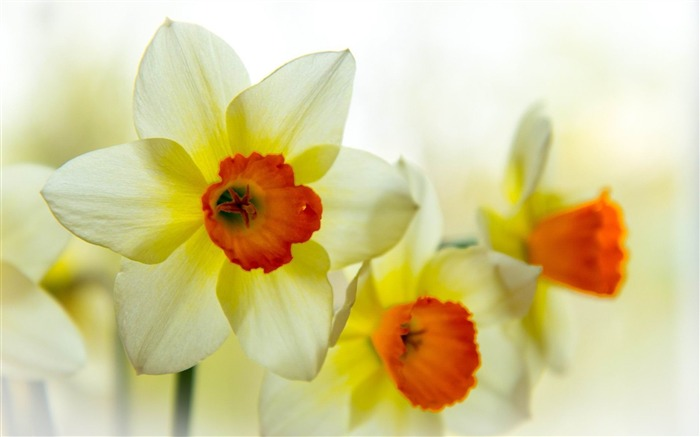narcissus flower petals-Photos HD Wallpaper Views:3605