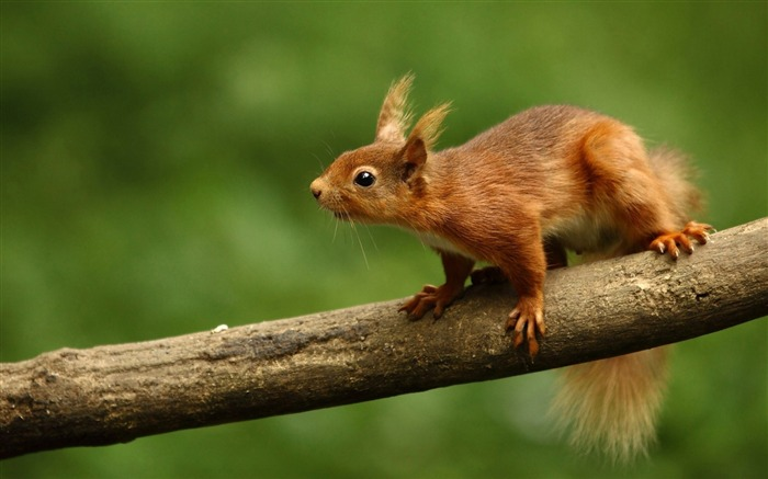 squirrel curiosity-Animal photo Wallpapers Views:2354