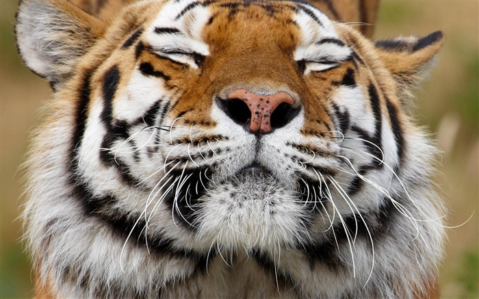 tiger face happy predator-Animal photo Wallpapers Views:4073