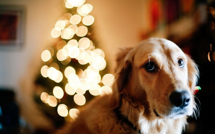 dog christmas tree lights new year-Holidays wallpaper Views:2571
