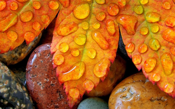 leaves maple drops-Photography HD Wallpaper Views:2550