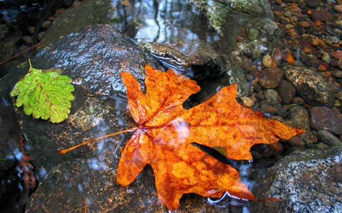maple leaf water wet-Photography HD Wallpaper Views:2652