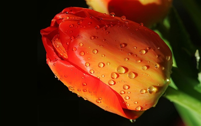 tulip flower bud drops-photography HD wallpaper Views:2564