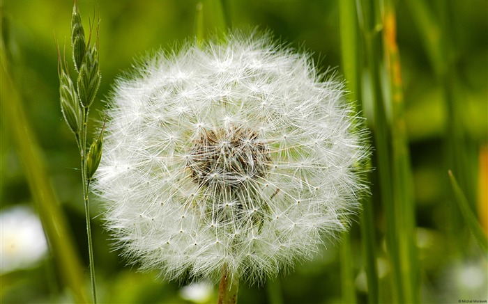 Dandelion-Windows HD Wallpaper Views:3113