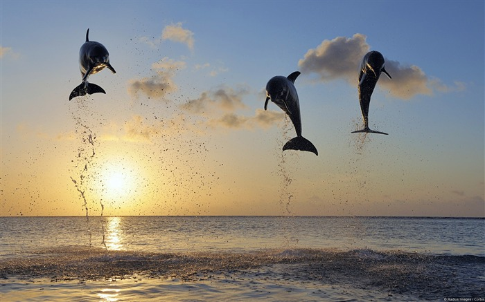 Jumping Dolphins-Windows HD Wallpaper Views:3603