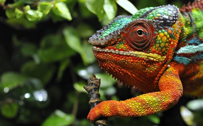 chameleon eyes grass color-HD Photo Wallpaper Views:4854 Date:1/5/2014 9:06:02 AM