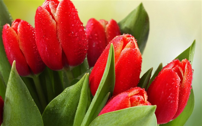 tulips drops leaves flower-Plants Photo Wallpaper Views:1756