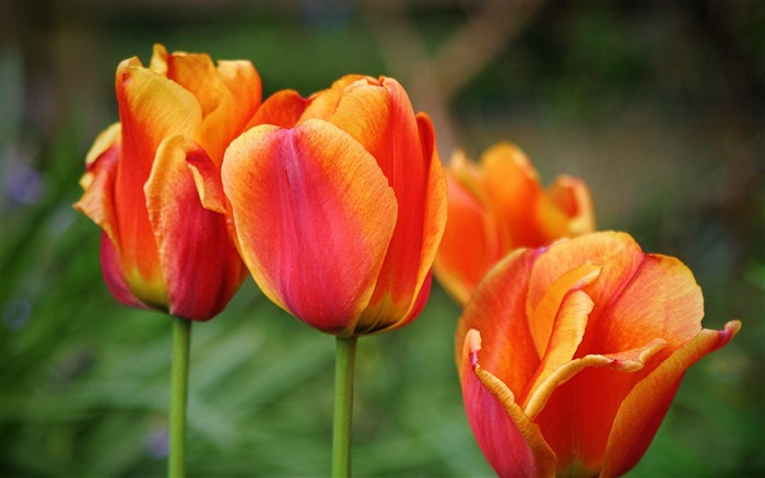 tulips drops leaves flower-Plants Photo Wallpapers Views:1466