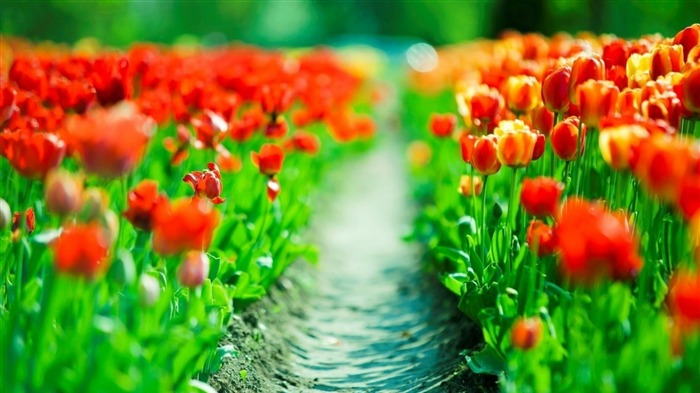 tulips leaves flower-Plants Photo Wallpaper Views:1200