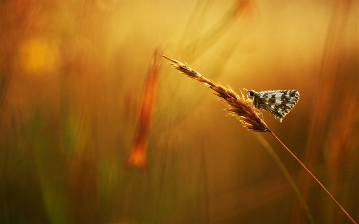 butterfly grass dew drops-Animal Photo Wallpaper Views:2474
