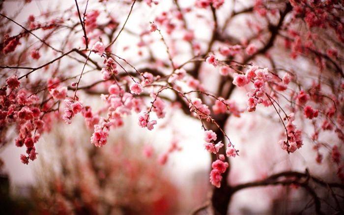 cherry flowers branches spring-High quality wallpaper Views:2777