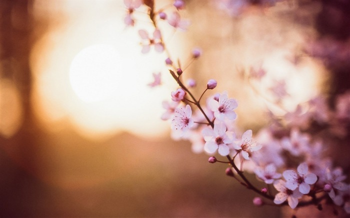 cherry flowers spring-High quality wallpaper Views:2588