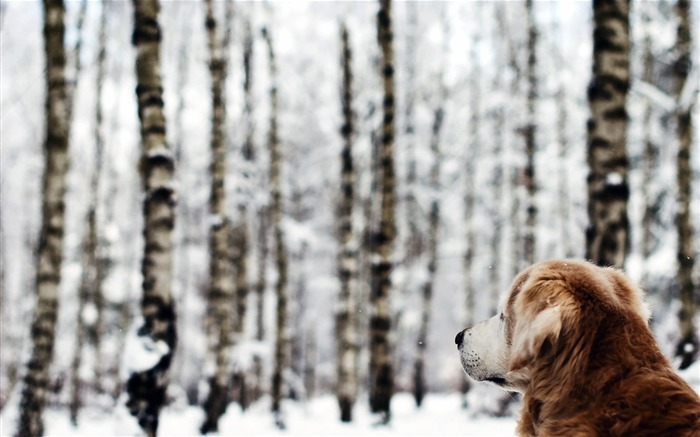 dog forest winter-Animal Photo Wallpaper Views:2843