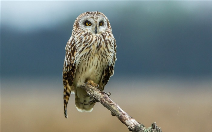 owl look branch-High quality wallpaper Views:2490