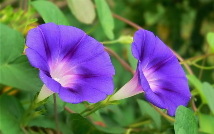 Morning Glory Flower Photography wallpaper 02 Views:2918