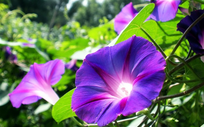 Morning Glory Flower Photography wallpaper 04 Views:2748
