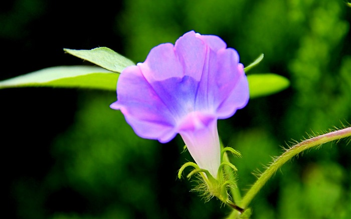 Morning Glory Flower Photography wallpaper 09 Views:2971