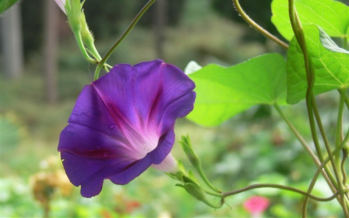 Morning Glory Flower Photography wallpaper 11 Views:2206