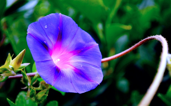 Morning Glory Flower Photography wallpaper 13 Views:2683