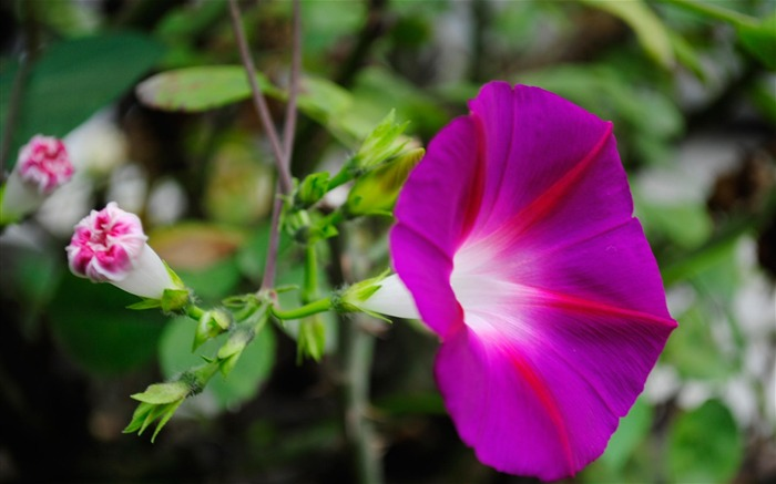 Morning Glory Flower Photography wallpaper 16 Views:2260