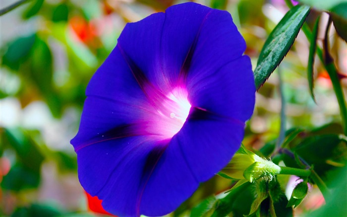 Morning Glory Flower Photography wallpaper 18 Views:1998