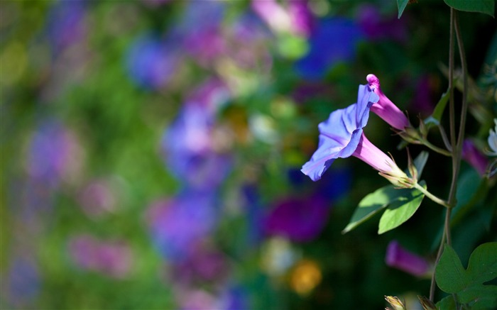 Morning Glory Flower Photography wallpaper 19 Views:1712