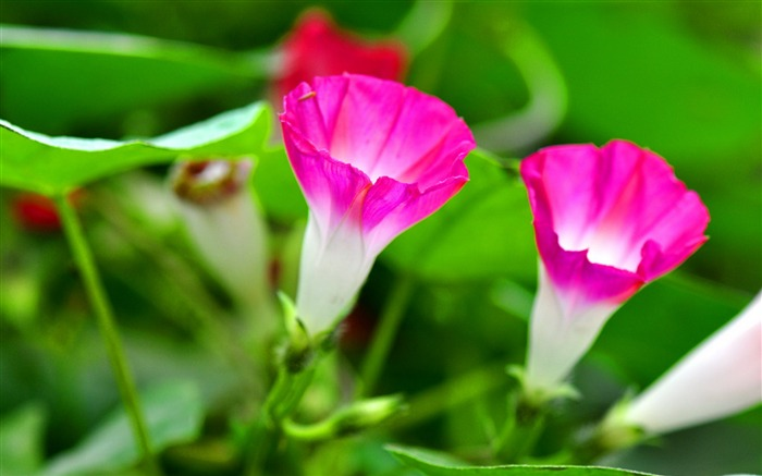 Morning Glory Flower Photography wallpaper Views:8391
