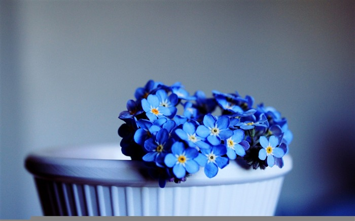blue not forget me-Flowers HD Wallpaper Views:2100