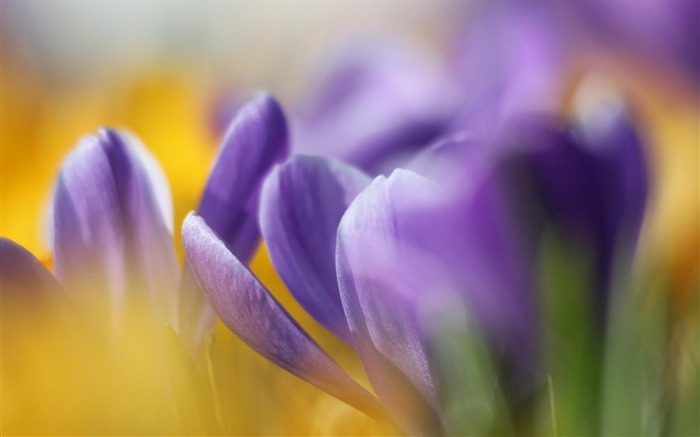 crocuses spring bokeh-Flowers HD Wallpaper Views:2150