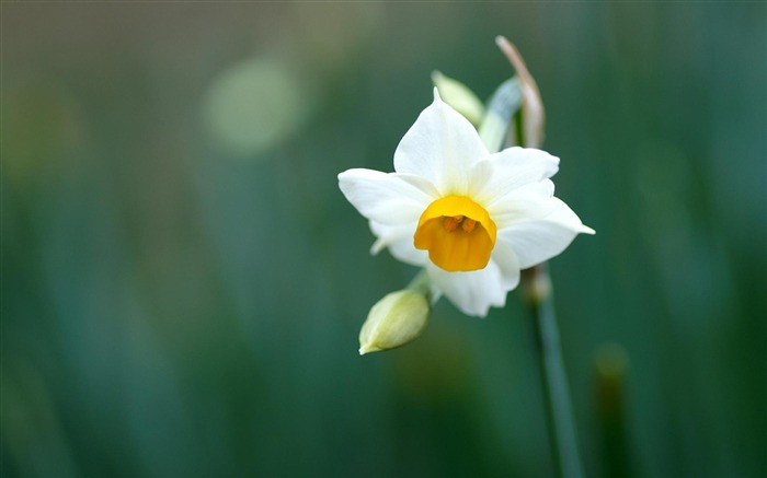 daffodil narcissus-Flowers HD Wallpaper Views:2414