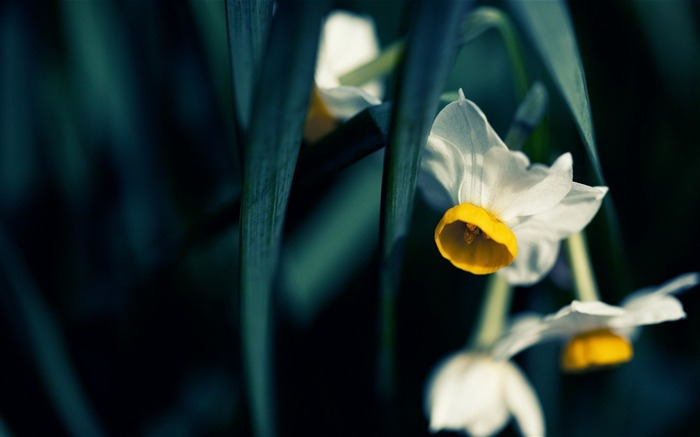 japanese narcissus-Flowers HD Wallpaper Views:1823