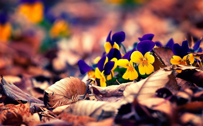 spring pansy pansies-Flowers HD Wallpaper Views:1874