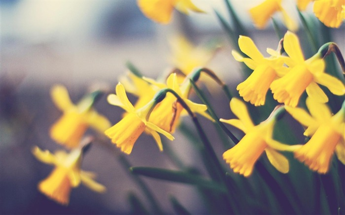 spring yellow daffodils-Flowers HD Wallpaper Views:1667