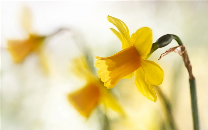 spring yellow narcissus-Flowers HD Wallpaper Views:2073