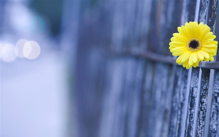 yellow fence-Flowers HD Wallpaper Views:1422
