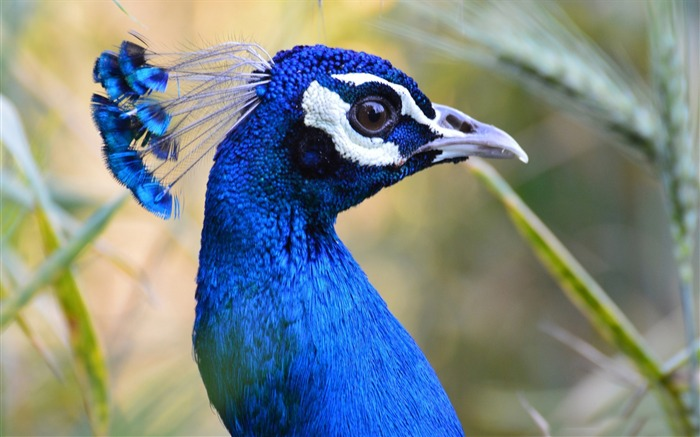 Blue Peacock-animal Photo Wallpaper Views:3277