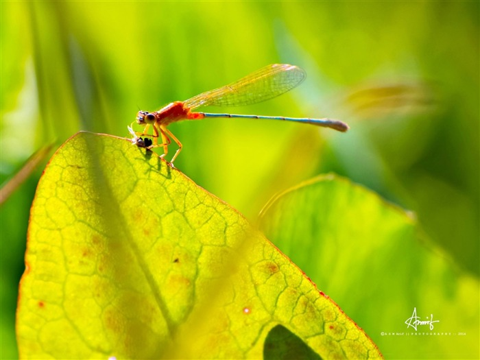 Dragonfly-Animal HD Wallpaper Views:3040