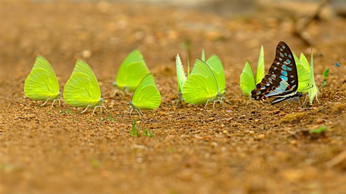 Green Butterfly-Animal HD Wallpaper Views:2676