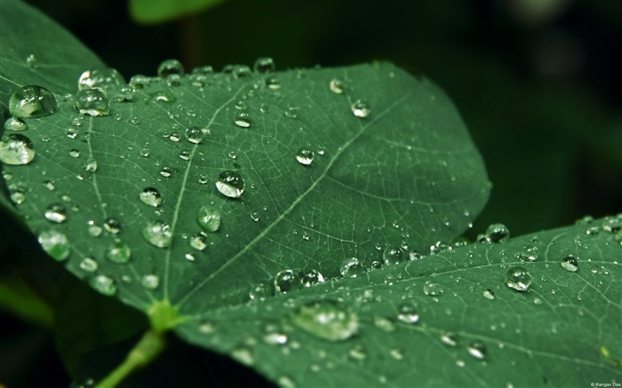 Raindrops on leaves-Windows Photo Wallpaper Views:1862