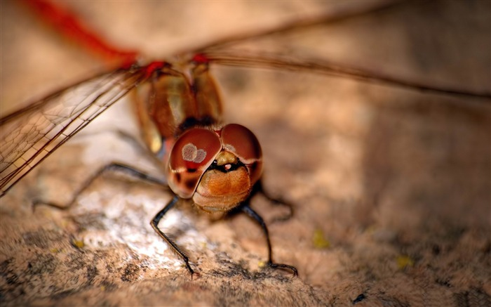Red Dragonfly-Animal HD Wallpaper Views:3409