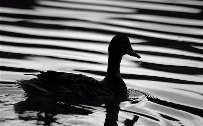 black duck-Animal HD Wallpaper Views:3359