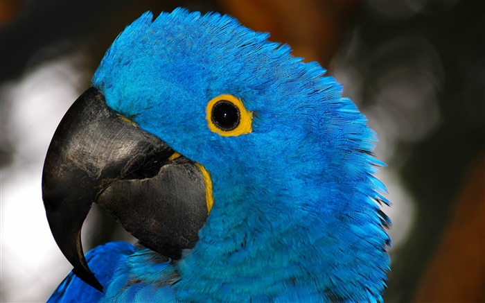 blue parrot-Animal HD Wallpaper Views:3461