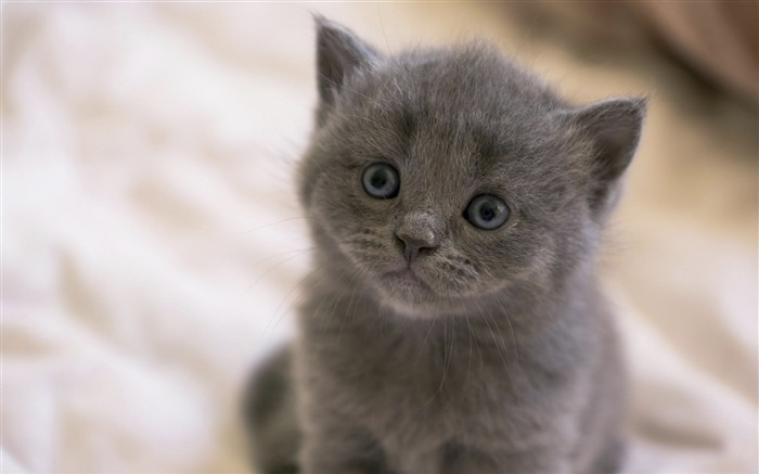 british kitten-animal Photo Wallpaper Views:2877