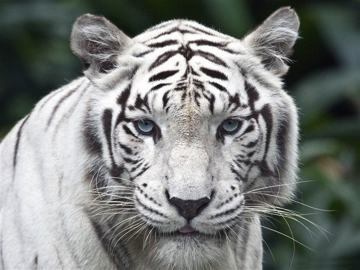 female white tiger-Animal HD Wallpaper Views:3250